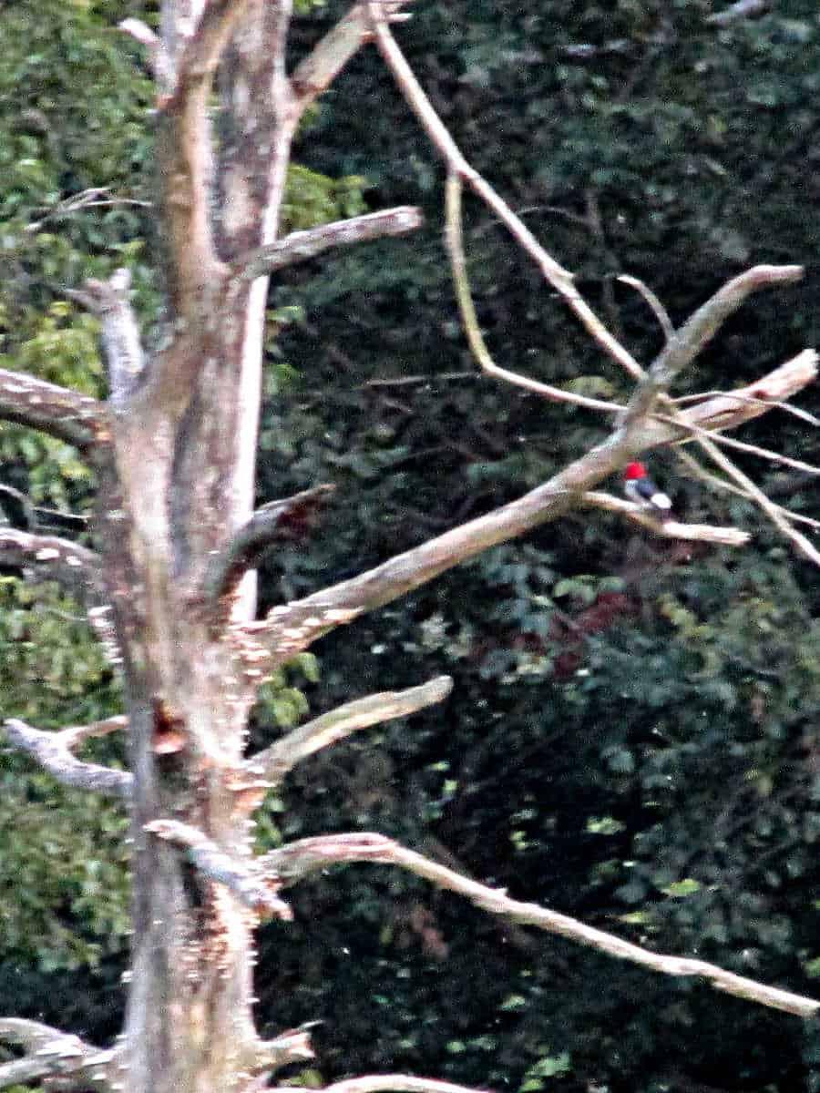 A red headed woodpecker in a dead oak tree